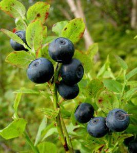blåbær mod-Epstein-Barr Virus