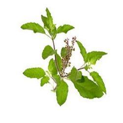 Diabetes : Planten Hellig Basillikum virker mod Sukkersyge