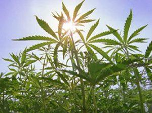 Cannabinoider fra Cannabis planten